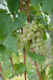 greengrapes